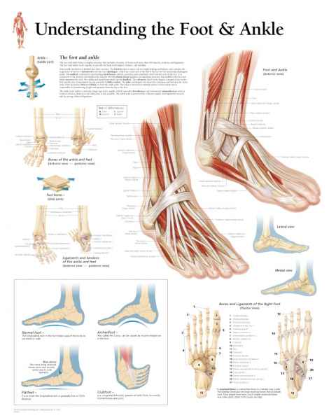 Understanding the Foot & Ankle Chart