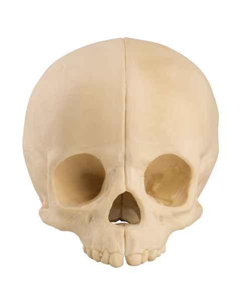 ORTHOBone Standard Pediatric Skull