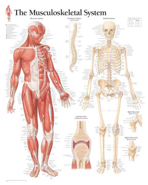 Musculoskeletal System Chart