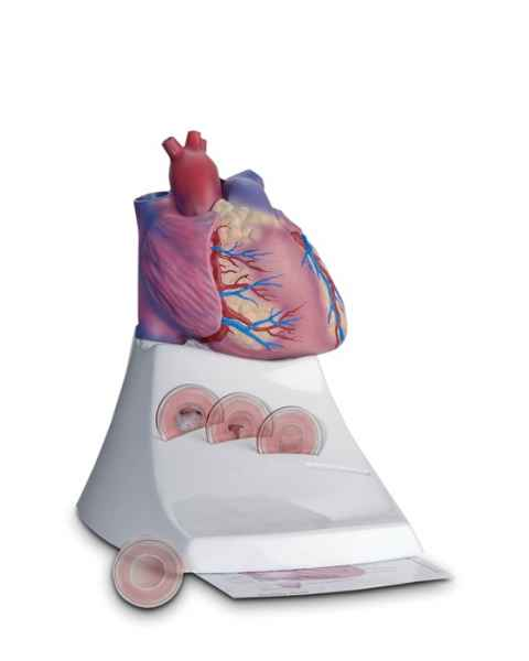 Scientific Publishing 1400M Life Size Healthy Heart Model