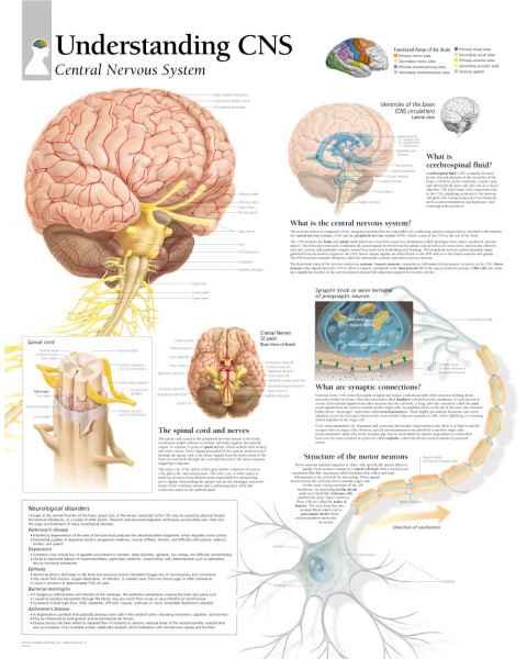 Understanding CNS (Central Nervous System) Chart