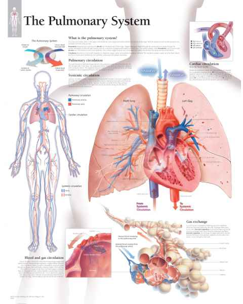 The Pulmonary System Chart
