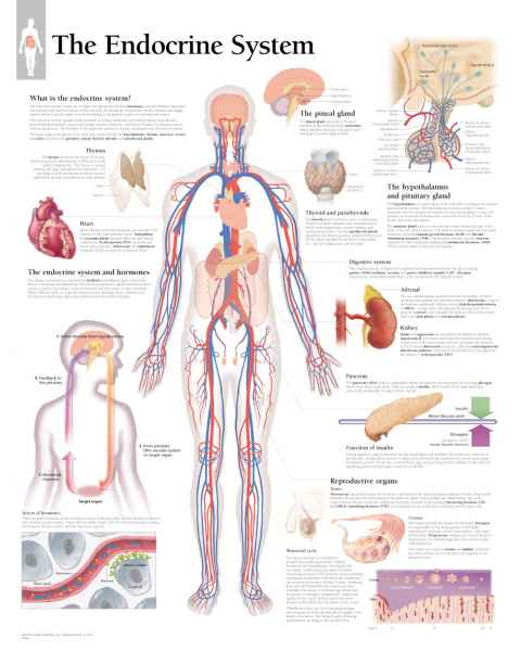 The Endocrine System Chart