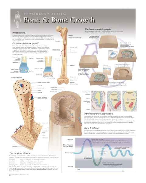 Bone & Bone Growth Laminated