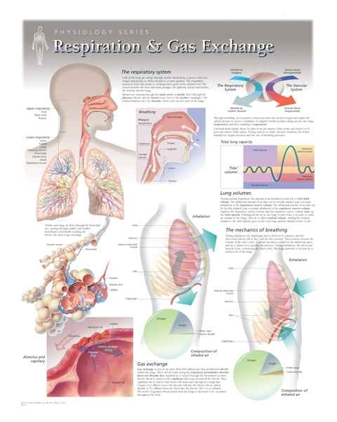 Respiration & Gas Exchange Laminated
