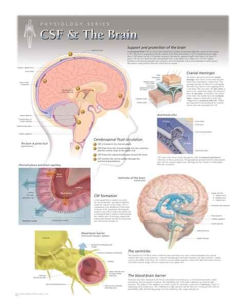 CSF & The Brain Laminated