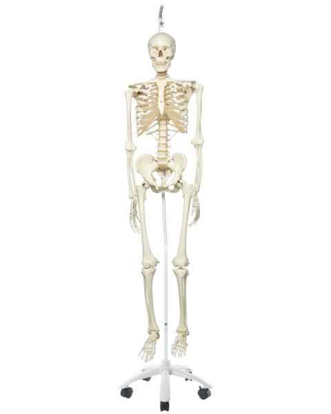 Stan the Standard Skeleton on Hanging Roller Stand