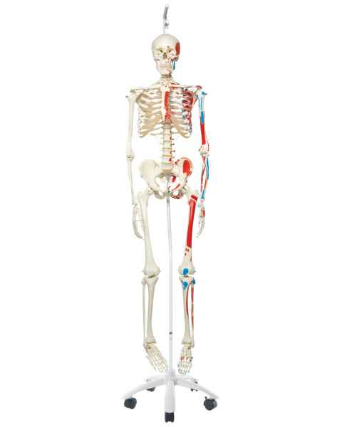 Max the Muscle Skeleton on Hanging Roller Stand