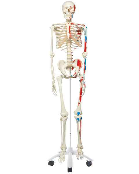 Max the Muscle Skeleton on Pelvic Mounted Roller Stand