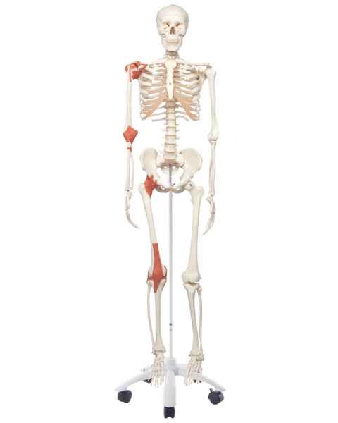 Leo the Ligament Skeleton on Pelvic Mounted Roller Stand