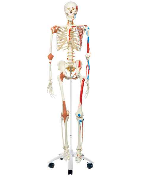 Sam the Super Skeleton with Muscles & Ligaments on Pelvic Mounted Roller Stand