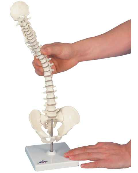 Mini Vertebral Column on Stand - Flexible