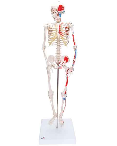 Mini Skeleton with Painted Muscles on Pelvic Mounted Base