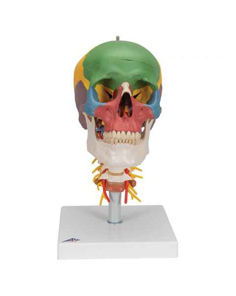 3B Scientific A20-2 Didactic Skull on Cervical Spine (4-Part)