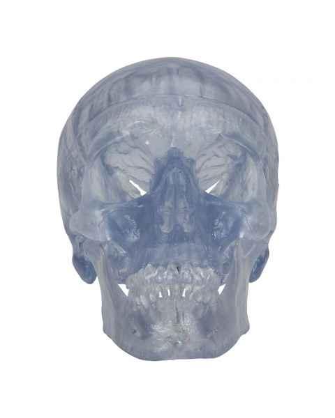 3B Scientific A20-TClassic Human Skull - Transparent (3-Part