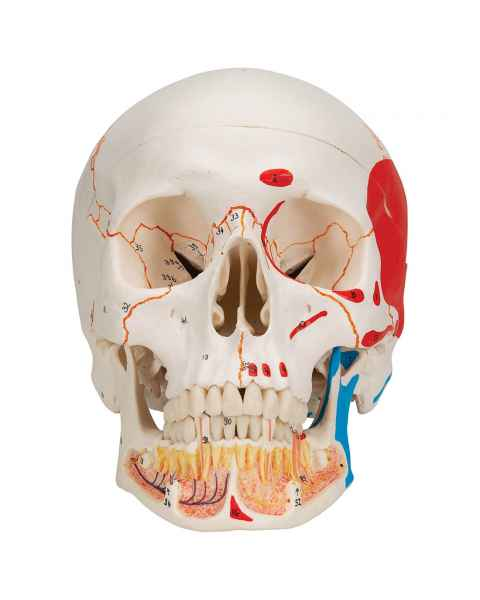 3B Scientific A22-1 Classic Painted Human Skull with Opened Lower Jaw (3-Part)