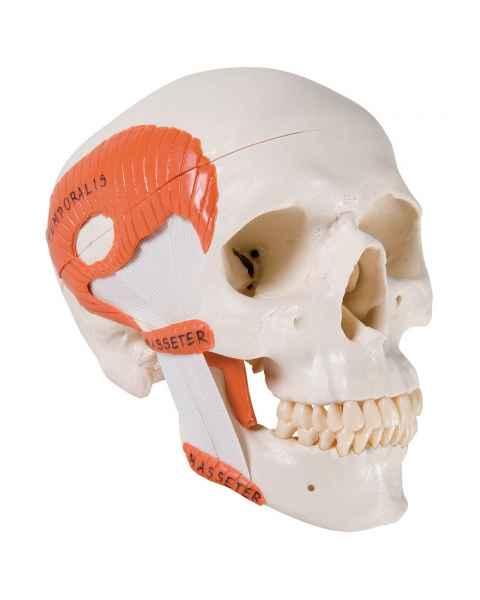 3B Scientific A24 TMJ Human Skull (2-Part) - 3B Smart Anatomy