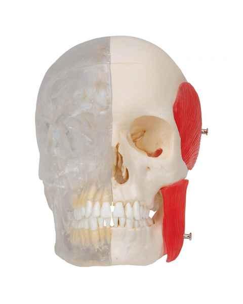 3B Scientific A282 BONElike Human Skull - Half Transparent & Half Bony (8-Part) - 3B Smart Anatomy