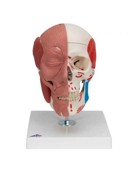 3B Scientific A300 Human Skull with Facial Muscles - 3B Smart Anatomy