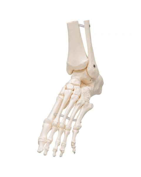 3B Scientific A31-1 Loose Foot and Ankle Skeleton with Elastic Bungy - 3B Smart Anatomy