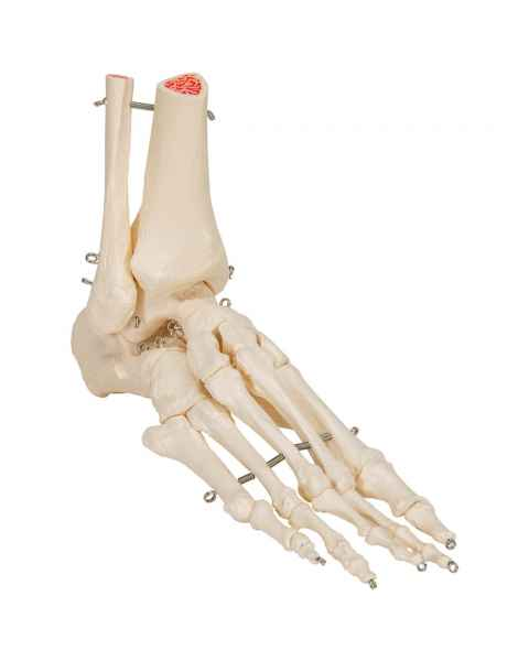 3B Scientific A31 Rigid Skeletal Foot Model with Portion of Tibia and Fibula - 3B Smart Anatomy