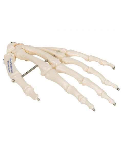 3B Scientific A40 Human Hand Skeleton Wire Mounted - 3B Smart Anatomy