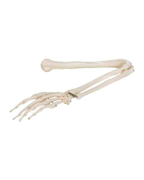 3B Scientific A45 Human Arm Skeleton Model, Wire Mounted - 3B Smart Anatomy