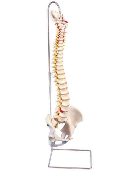 Highly Flexible Spine Model