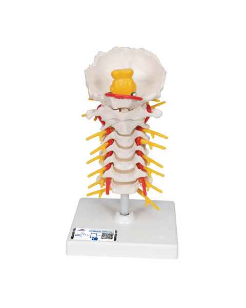 3B Smart Anatomy Flexible Cervical Vertebral Column
