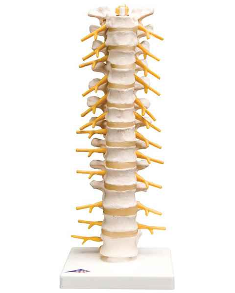 Flexible Thoracic Vertebral Column