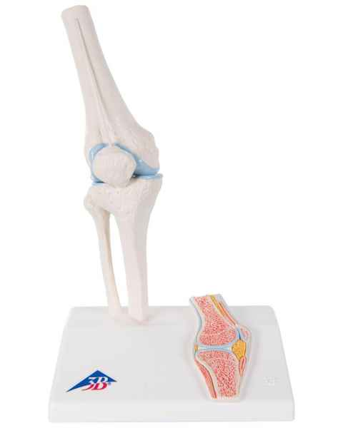 Mini Knee Joint with Cross Section of Bone - On Base