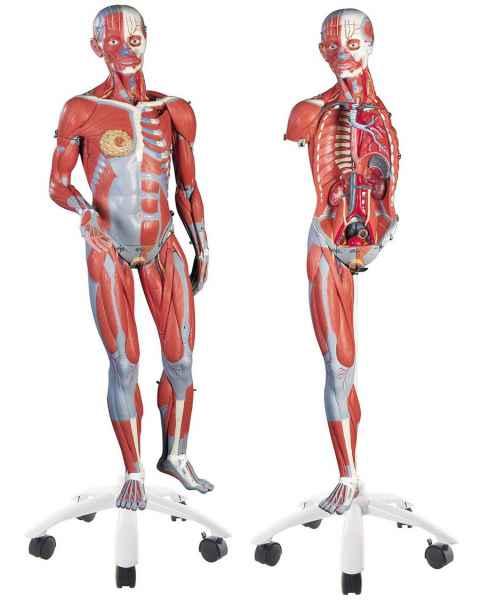 3/4 Life-Size Dual Sex Muscle Figure 45-Part