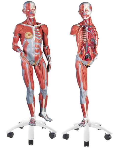 3/4 Life-Size Female Muscle Figure 23-Part