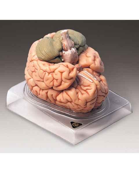 Deluxe Brain Model