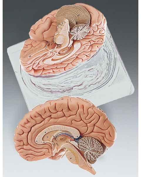 Brain Model Two-Part