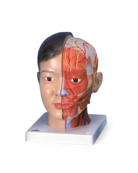 Asian Deluxe Head with Neck
