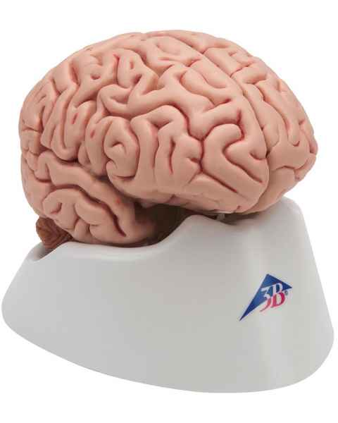 Classic Brain Model 5-Part