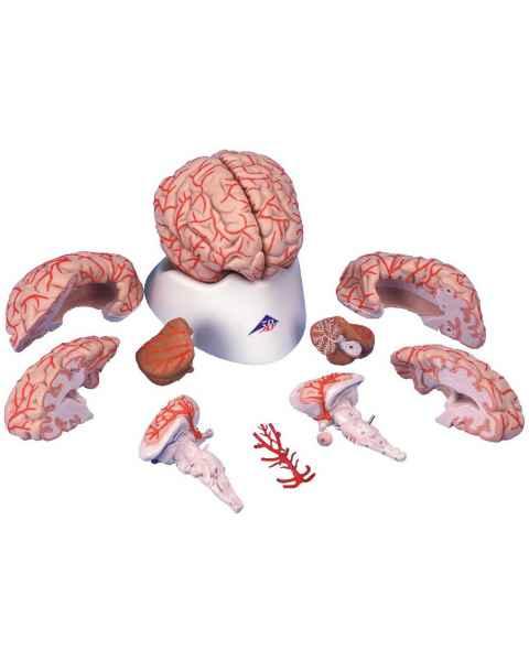 Deluxe Brain with Arteries Model 9-Part