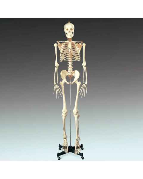 CH10 Budget Bucky Skeleton with Roller Stand