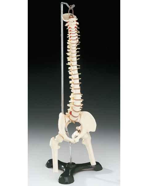 Flexible Desk-Size Vertebral Column on Hanging Stand
