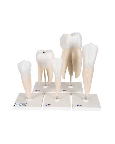 Classic Tooth Model Series