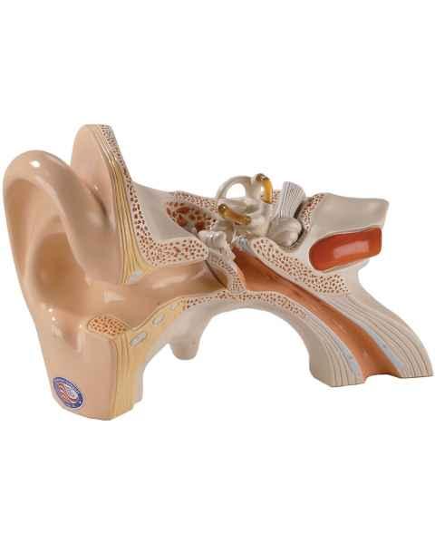 Functional Human Ear Model