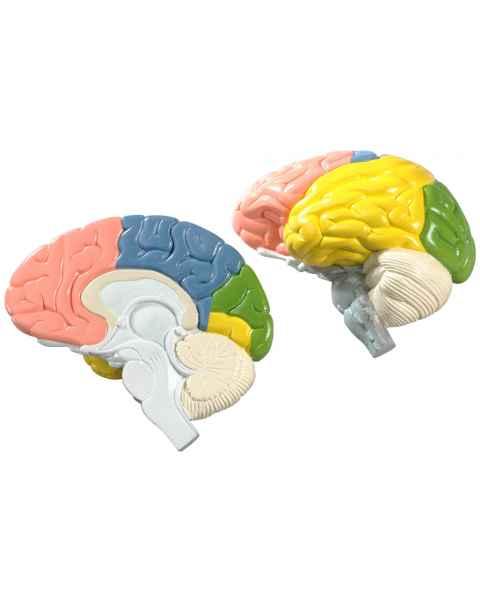Life-Size 2-Part Regional Brain