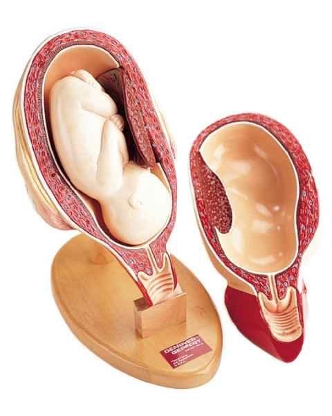3rd Trimester Pregnancy Insert 4-Part Model