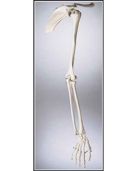 Premier Arm Skeleton with Shoulder Girdle & Hand