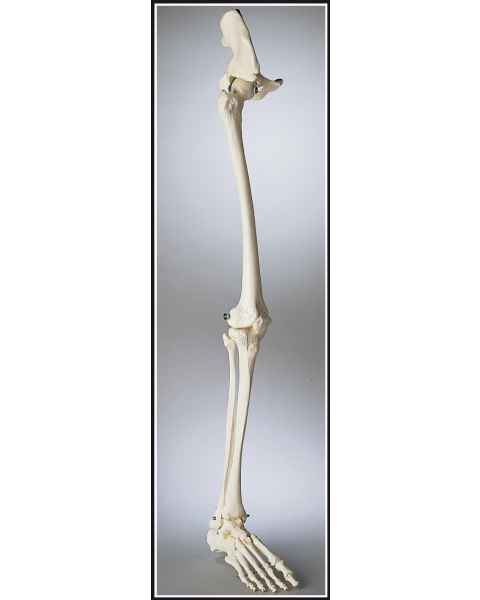 Premier Leg Skeleton with Hip, Ankle and Foot
