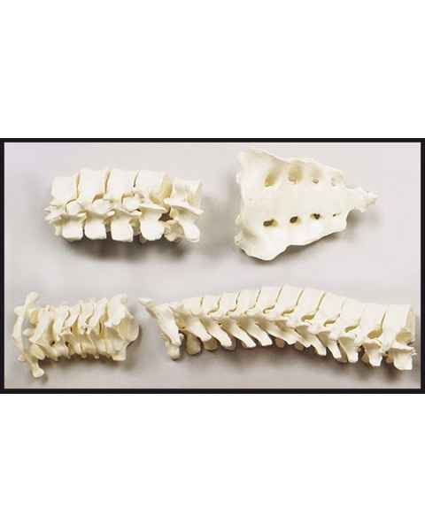 Complete Vertebrae Column with Sacrum & Coccyx - Loosely Strung
