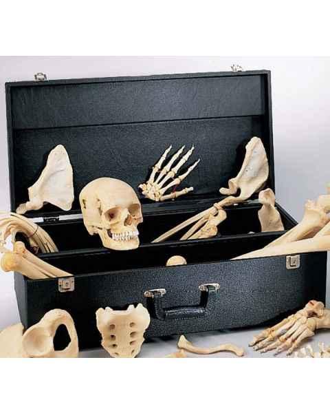 Case For Disarticulated Skeletons