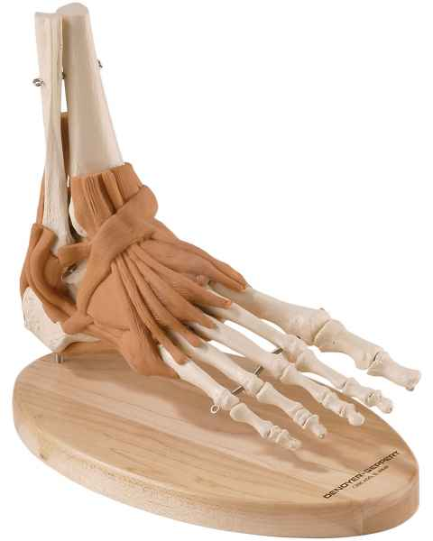 Ultraflex Ligamented Foot & Ankle - Functional Replica