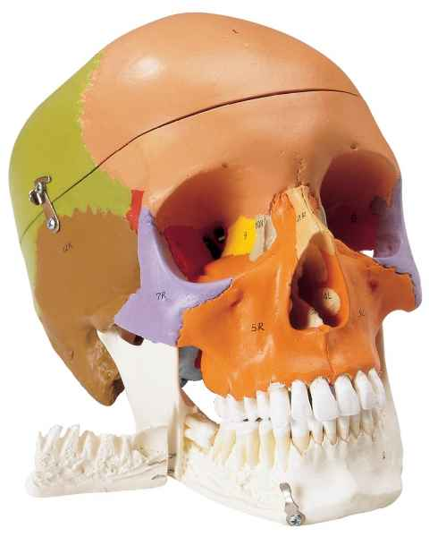 Premier Teaching Skull - Painted